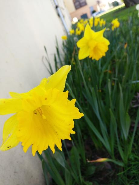 Daffodils are coming up in front of the school!